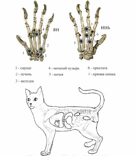 внутренних органов кошки