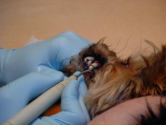 Удаление зубов у собаки цена в ветклинике